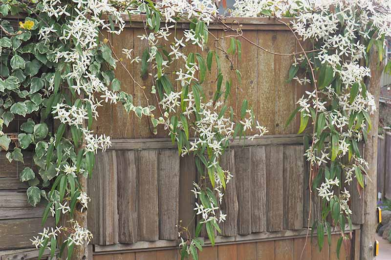 A wooden panel fence, with a clematis vine cascading over it. White flowers and green leaves contrast with the brown of the wood.