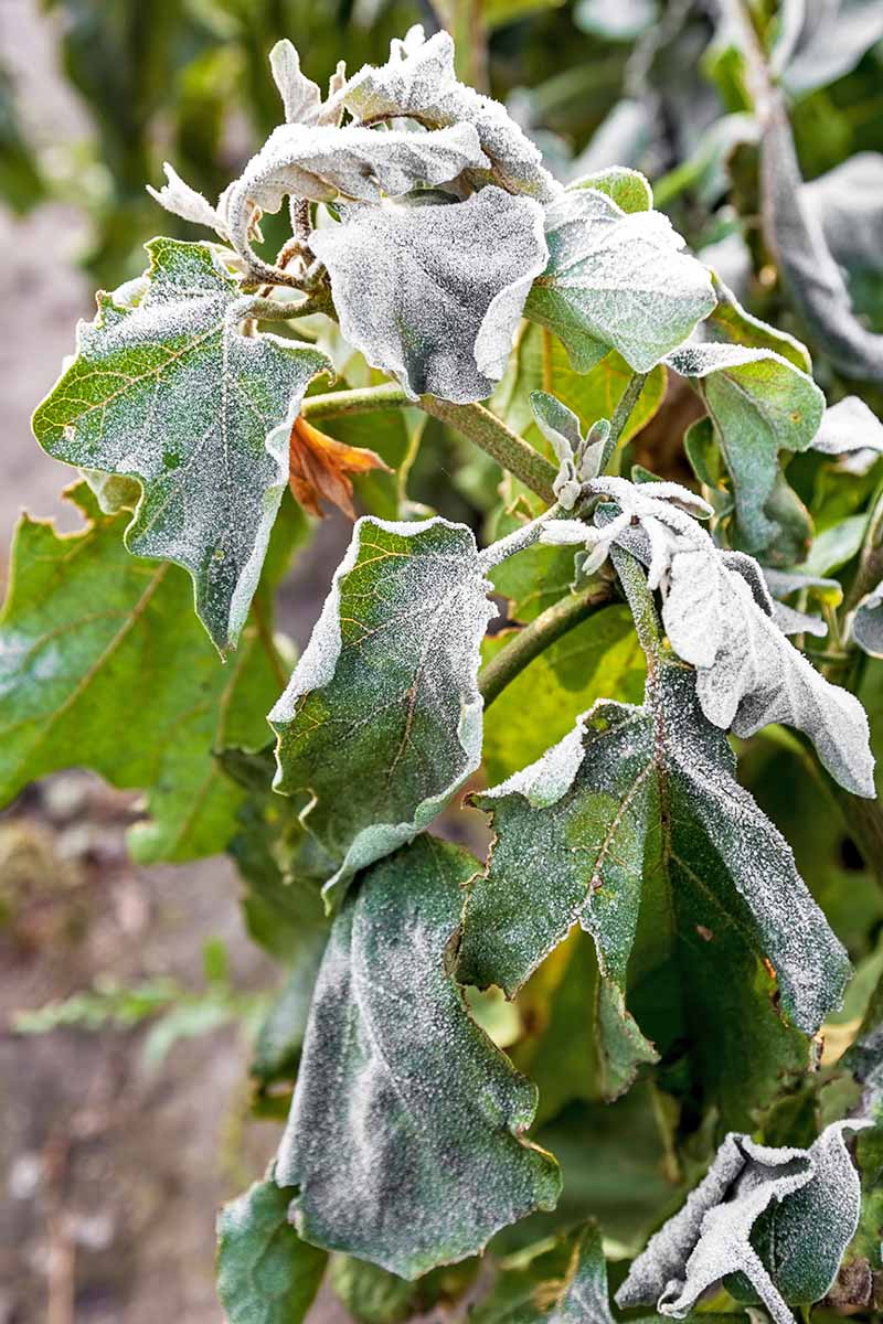 A vertical close up of a shrub with a light dusting of frost on the leaves. The background is soft focus.