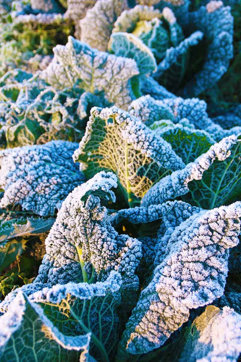 A close up vertical image of cabbage leaves in light sunshine with a dusting of frost on them.