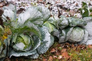 How to Grow Winter Cabbage for a Late-Season Harvest