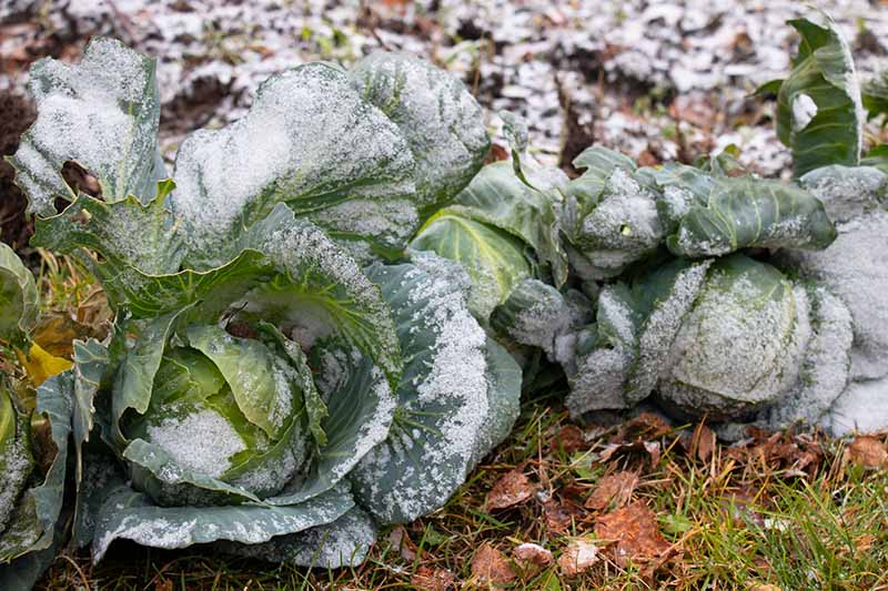 A close up of two cabbages growing in a winter garden with frost on the leaves. In the background is frosty earth with some fallen leaves.
