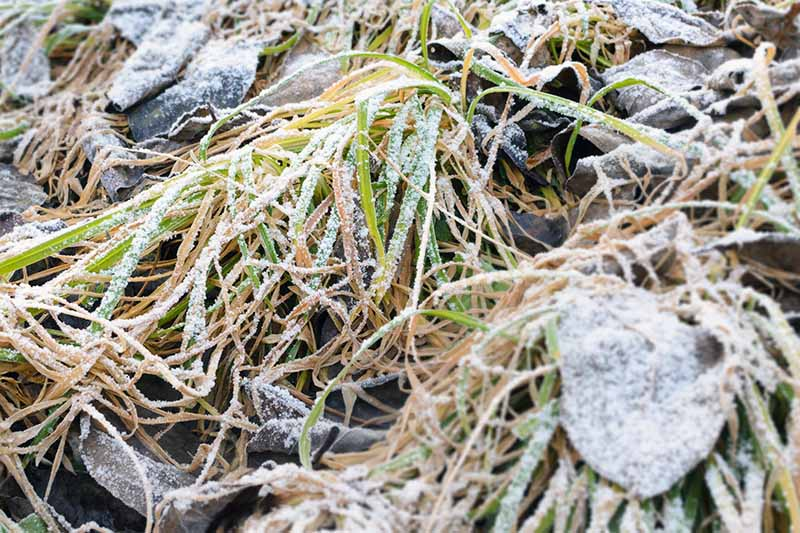 A close up of flattened grass and brown leaves all covered in a dusting of frost.