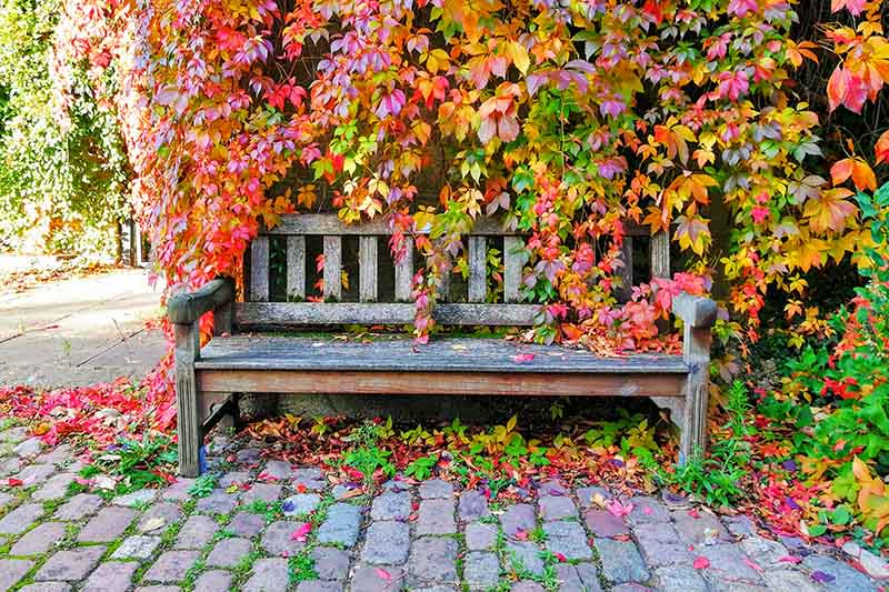 A weathered wooden bench on a cobbled surface, with cascading vines over it in autumn. The plant has red, yellow, orange, and green leaves in abundance. Bright sunshine lights the scene.
