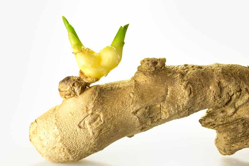 A close up of a piece of root ginger with a small green shoot growing from it, on a white background.