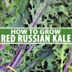 A vertical close up picture of bunches of harvested 'Red Russian' kale. The purple stems and veins contrast with the light green leaves. To the center and bottom of the frame is green and white text.