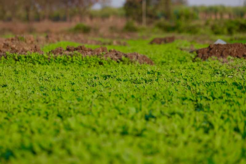 A close up of fenugreek plants being used as a cover crop on a fallow field. The bright green of the foliage contrasts with various mounds of soil, with the background fading into soft focus.