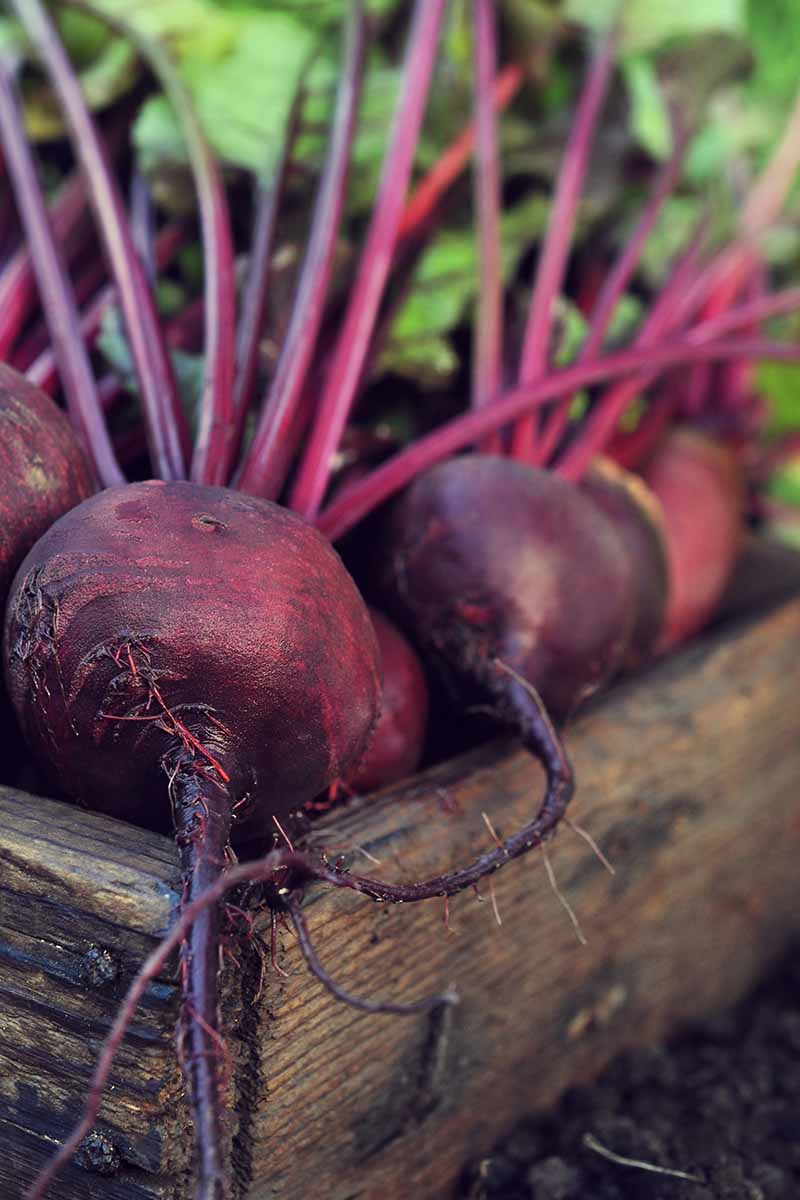 A vertical picture of a rustic wooden box on soil with freshly harvested beets, the roots a deep purple, with the stems attached. The background is the green leaves fading into soft focus.