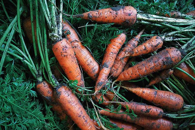 A close up of freshly harvested carrots, the wet soil still on the roots. The background is the green foliage of the tops which are still attached.