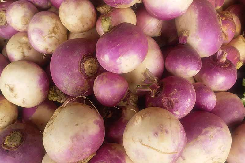 A close up image of fresh clean turnip roots varying in color from creamy white at the bottom to light purple around the tops of the crowns.