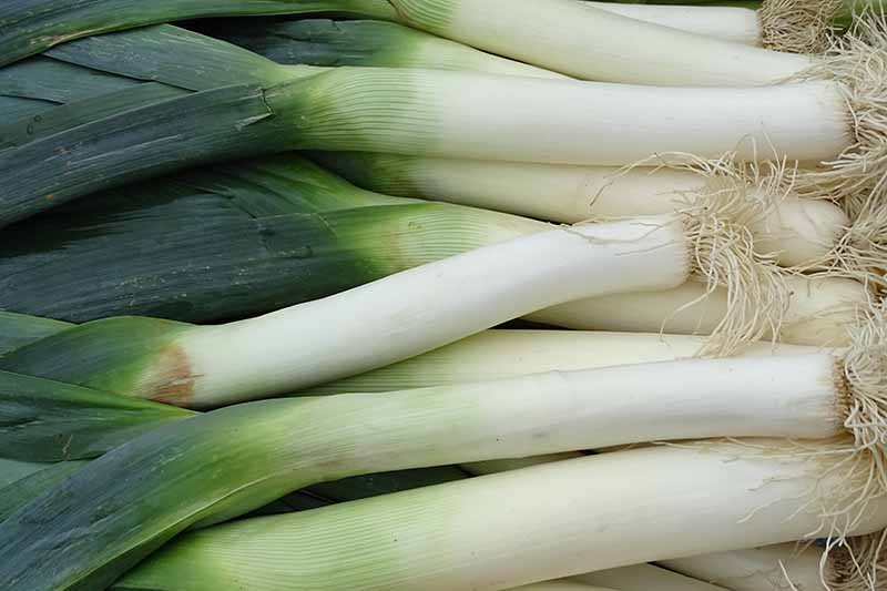 A close up of harvested leeks, with their roots still intact, long white stems and dark green foliage.