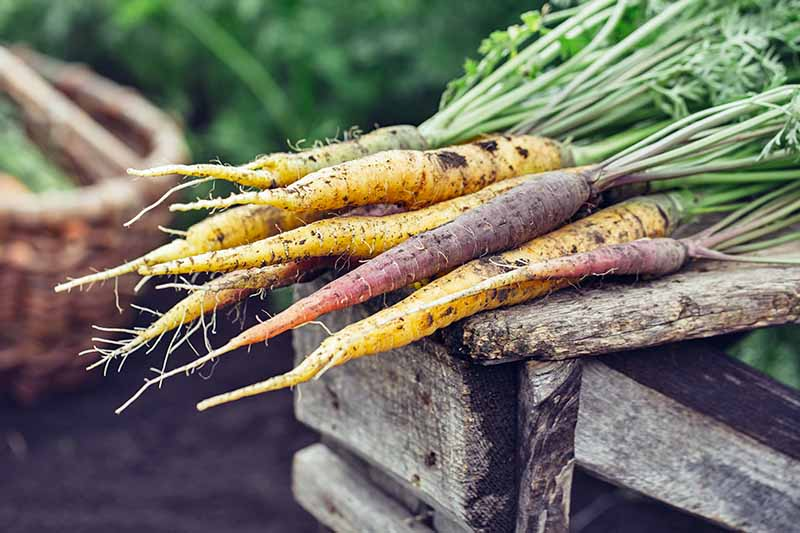 Freshly dug yellow and purple carrots with soil and foliage still attached are on a wooden fence post. In the background is a wicker basket with soil and vegetation in soft focus.