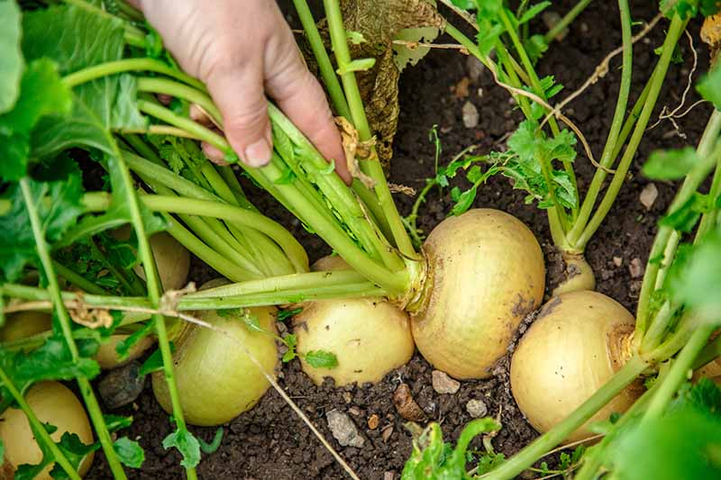 A hand from the top of the frame grasps a handful of stalks to pull out a turnip root from the ground. Beside it are more crowns pushing through the soil ready to harvest. The background is dark soil and vegetation fading to soft focus.