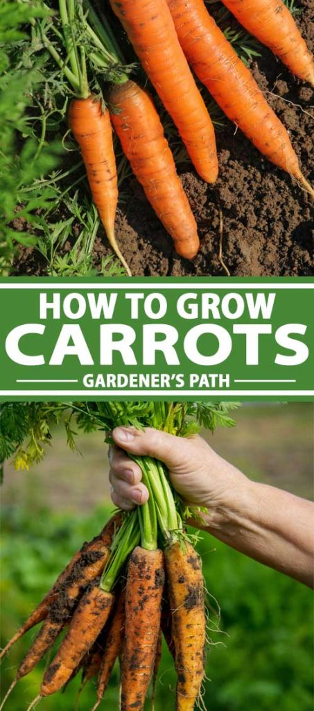 A collage of photos showing carrots growing in a home vegetable garden.