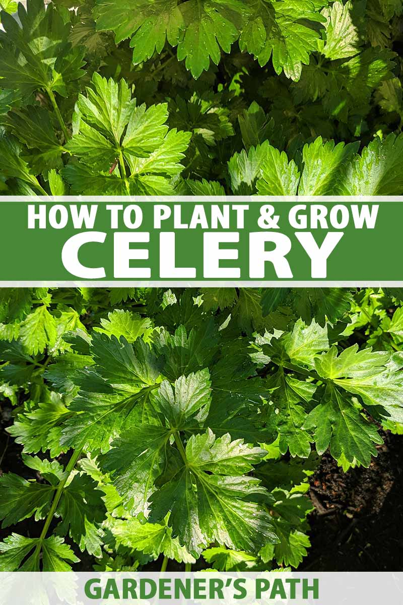 A close up of a celery plant growing in soil, with dappled sunlight on the bright green leaves, and dark soil in the background. To the center and bottom of the frame is green and white text.