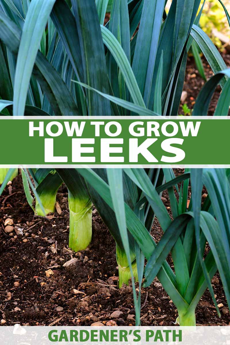 A row of leek plants in the ground, with the light green stems showing and dark green foliage. The background is rich soil. To the center and bottom of the frame is white and green text.
