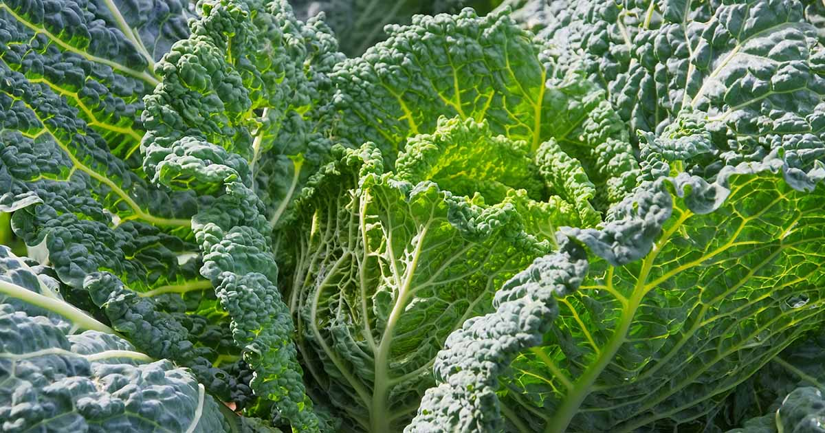 How To Grow Savoy Cabbage Gardener S Path