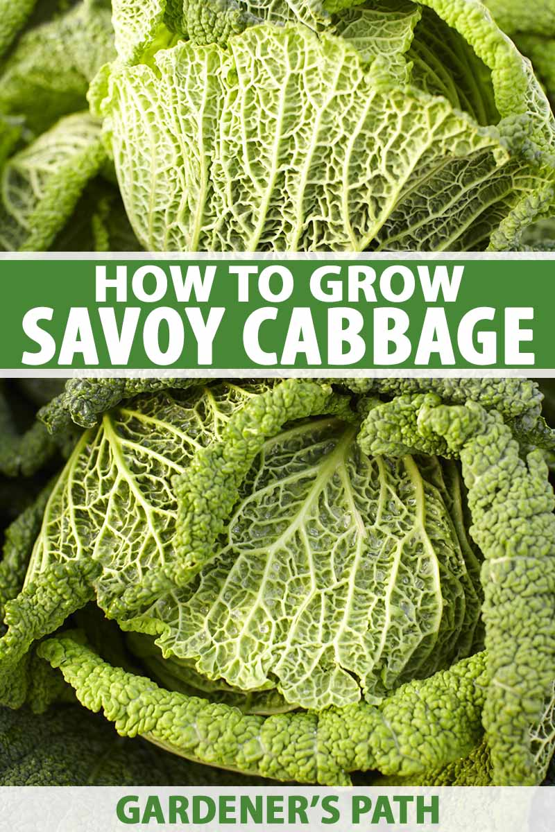 A vertical close up picture of two harvested savoy cabbage heads in bright sunlight. To the center and bottom of the frame is green and white text.