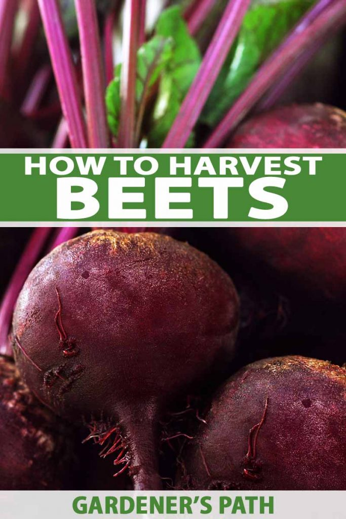 A vertical image showing a close up of freshly harvested beets, their stems still attached. To the center and bottom of the frame is green and white text.
