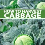 A vertical image of a row of cabbages, their large dark green leaves contrasting with the light green leaves tight around the mature heads. To the middle and bottom of the frame is green and white text.