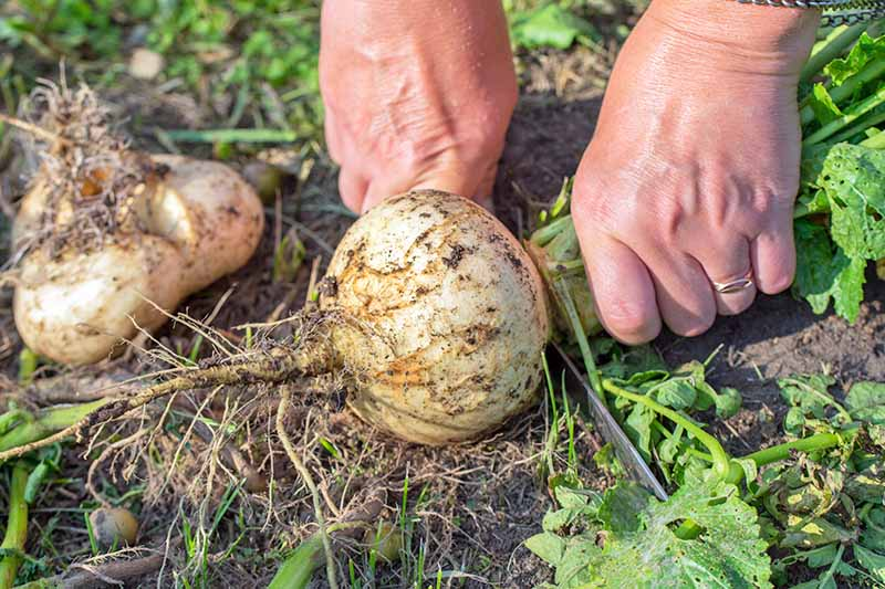 A woman grips a freshly harvested turnip by the greens and with the other hand uses a knife to remove the leaves to prepare it for storage. The background is soil and vegetation in soft focus.