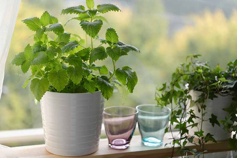 A wooden shelf by a window containing a white flower pot with Melissa officinalis, next to it are two small glasses, one purple, one blue. To the right of the frame is another white pot with ivy cascading out over the side.
