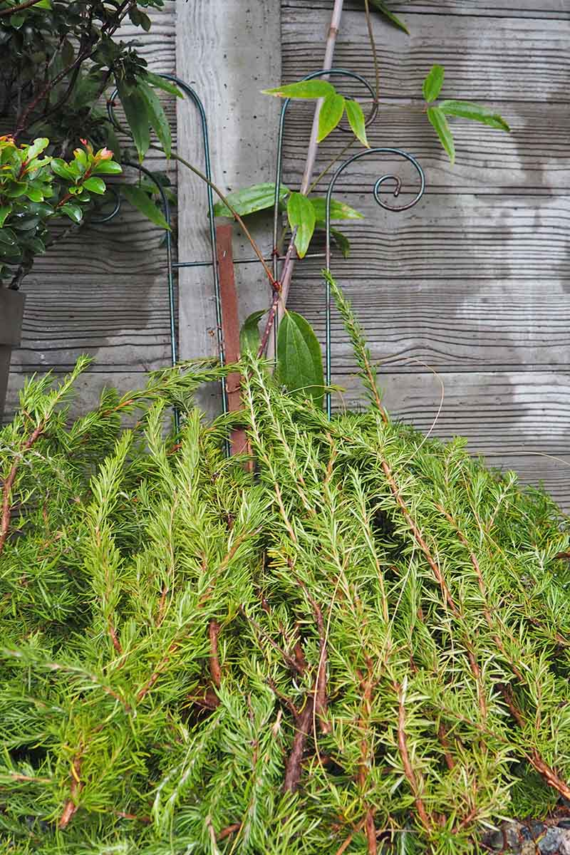 Evergreen boughs arranged over a clematis vine growing up a metal trellis on a wooden fence.