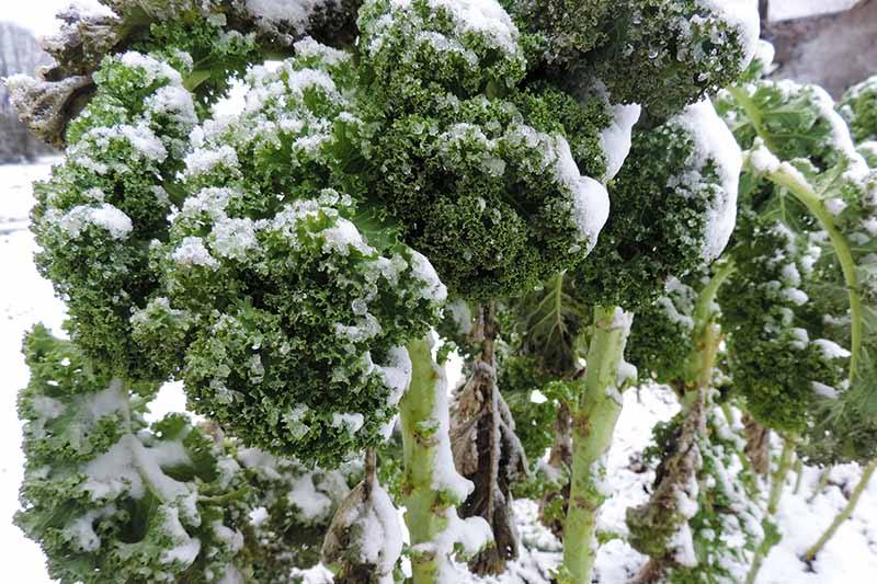 A close up of curly kale leaves and stems seen covered in snow, on a snowy background. The dark green of the leaves contrasts with the bright light reflecting on the white frost.