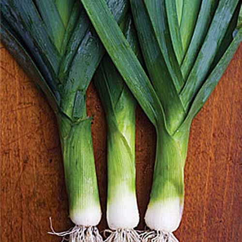 A close up of three 'Lancelot' leeks, with white ends and dark green foliage on a wooden surface.