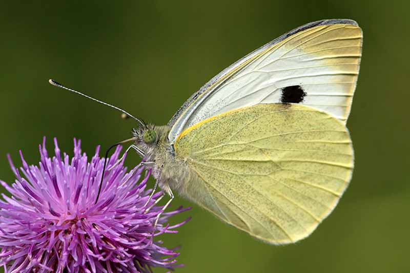 A close up of a large cabbage white butterfly feeding on a purple flower. The insect has white and yellow wings, with a dark black spot, and veins running through them. The background is green in soft focus.