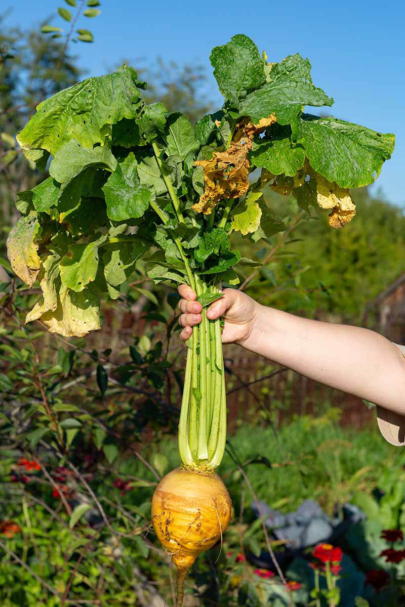 A hand from the right of the frame grasping the stems of a freshly harvested turnip. The foliage is still attached, the background is blue sky and garden plants fading into soft focus, in bright sunshine.