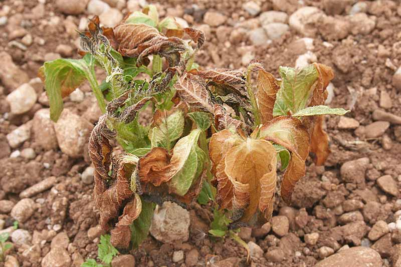 A close up of a plant damaged by frost, with brown wilting leaves, dead leaves and some sad looking green ones. The background is stony soil, in soft focus.