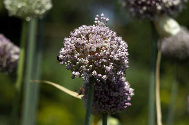 A close up of a leek plant seed head, with light purple flowers, and a background of green in soft focus.