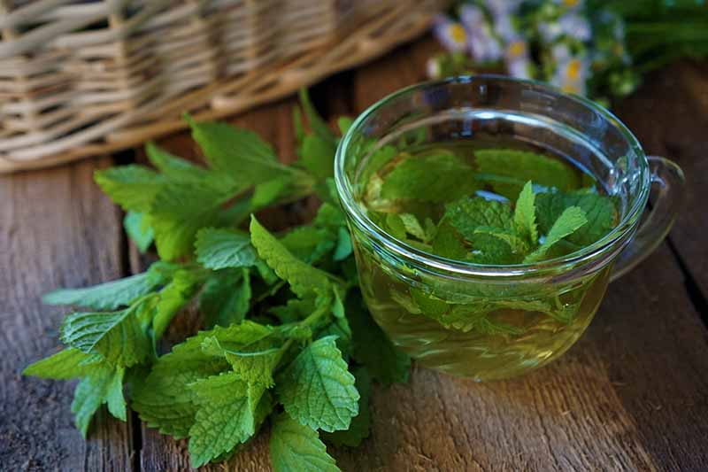A glass cup containing lemon balm leaves in water, with fresh leaves next to it on a wooden surface. In the background is part of a wicker basket in soft focus and some small purple flowers.