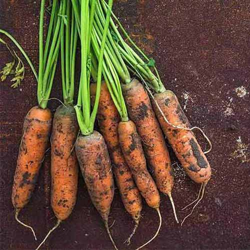 A close up of 'Little Fingers' cultivar recently harvested, with tops still attached and soil on the roots. These carrots are short and stubby. The background is dark soil.