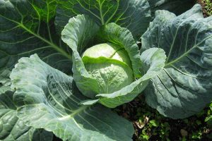How to Harvest Cabbage