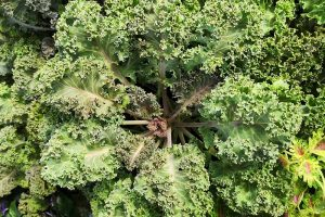 Tips for Protecting Kale from Pests and Disease