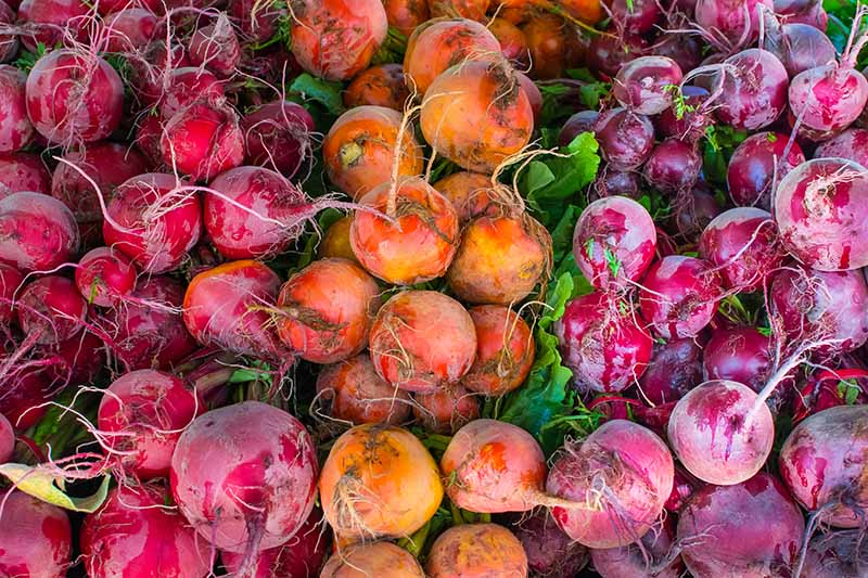 A close up of different colored beets, harvested and resting on a green background. From the left, the light red vegetables contrast with the gold ones in the center next to the deeper red ones on the right of the frame.