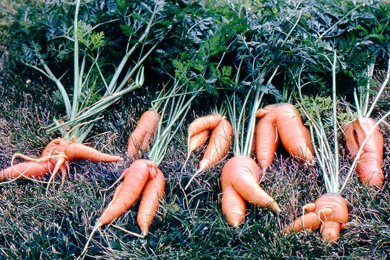 A selection of odd shaped carrots, laid out on the grass with the foliage still attached.