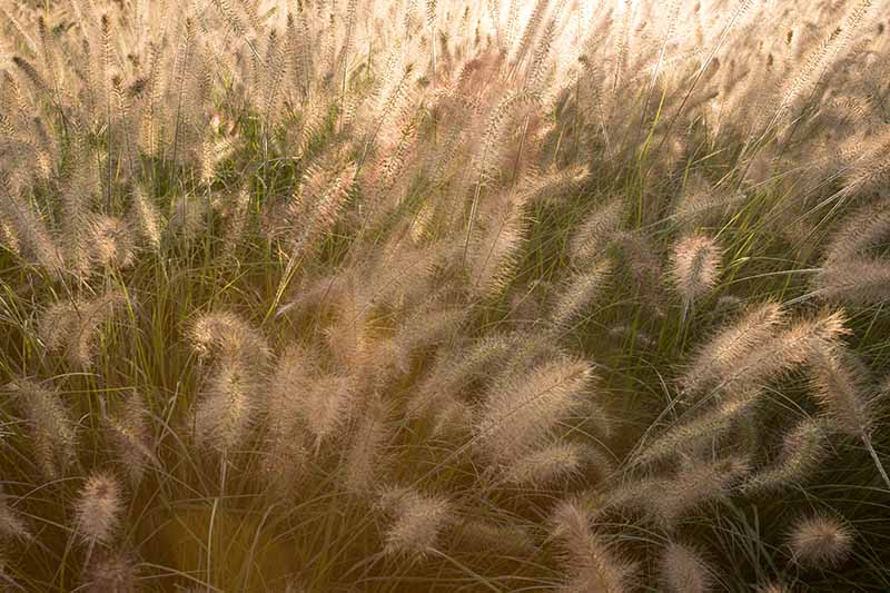 A close up of ornamental grass, with the wispy seed heads contrasting with the green stems, awash in sunlight.