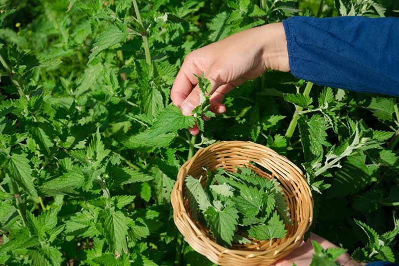 A hand from the right of the frame is picking lemon balm leaves, the other hand is holding a small wicker basket half full of leaves. The background is green leaves and stems in bright sunshine.