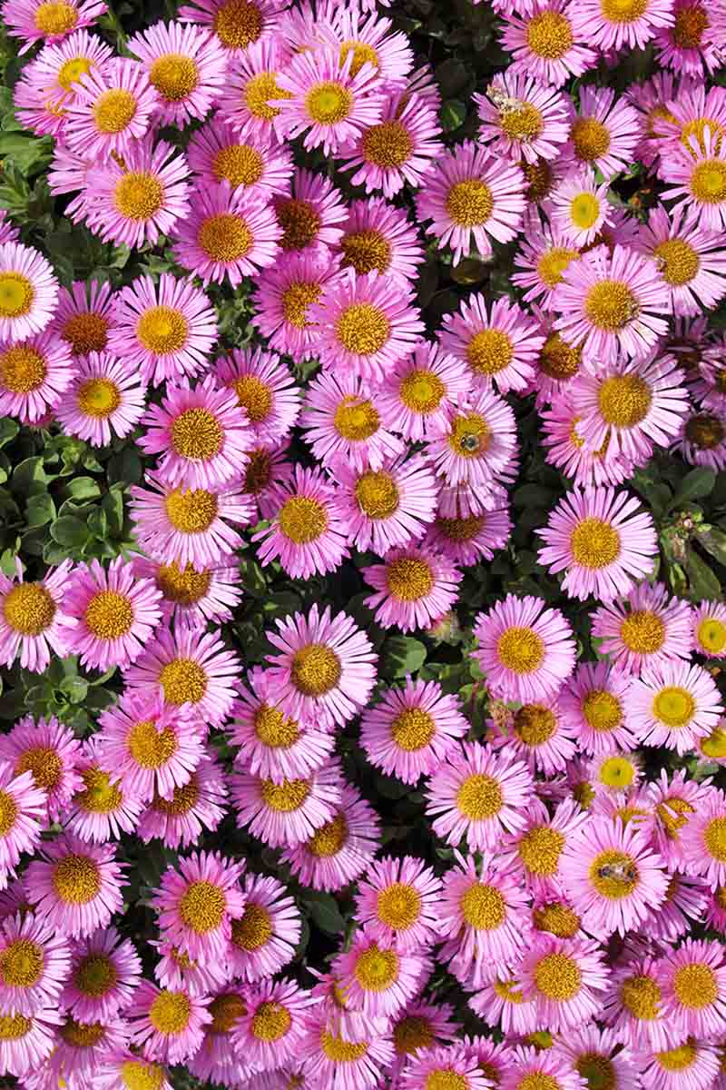 A top down picture, close up, of pink aster flowers with delicate petals and bright orange centers. In the background is leaves from the same plant.