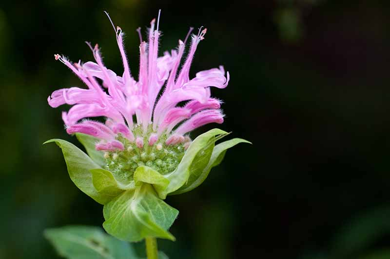 A close up of a light pink monarda flower with long petals growing out of the green flower head, with light green foliage. The background is black.