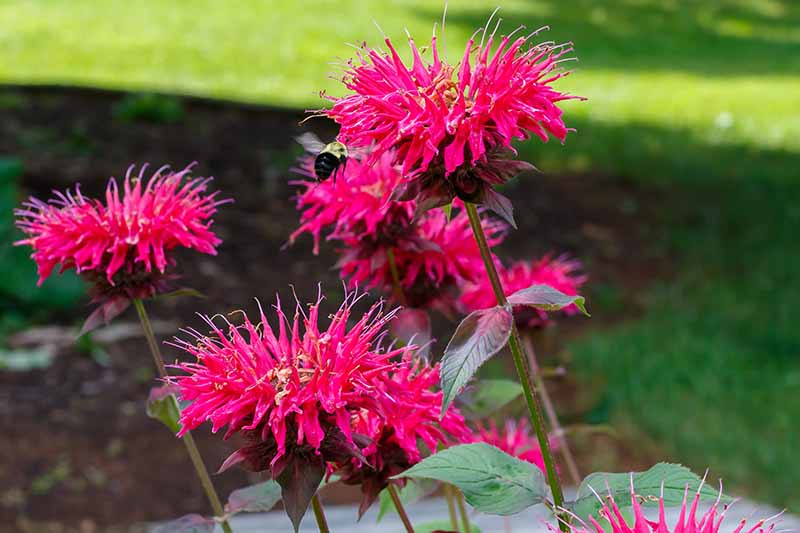 Close up of a few red monarda flowers, with a bee flying nearby, the petals long and thin and tapering at the ends. The background is green lawn in soft focus.