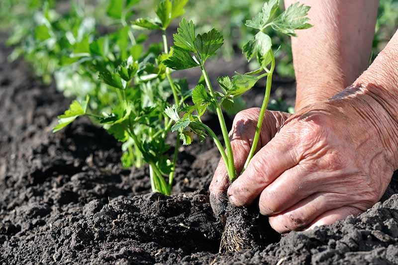 A close up of two hands from the right of the frame holding a seedling and gently placing it into the soil. The ground is a deep rich brown, contrasting with the green foliage. The background is further rows of plants in soft focus.