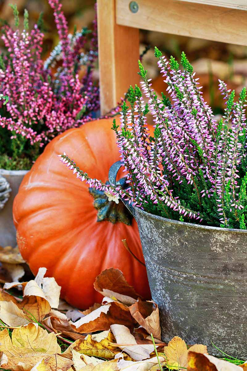 A vertical picture of a bright orange pumpkin nestled behind a metal bucket containing sprigs of purple flowers on green leaved stems. Fall leaves are scattered at the bottom, and in the background is a wooden chair leg and more purple sprigs.