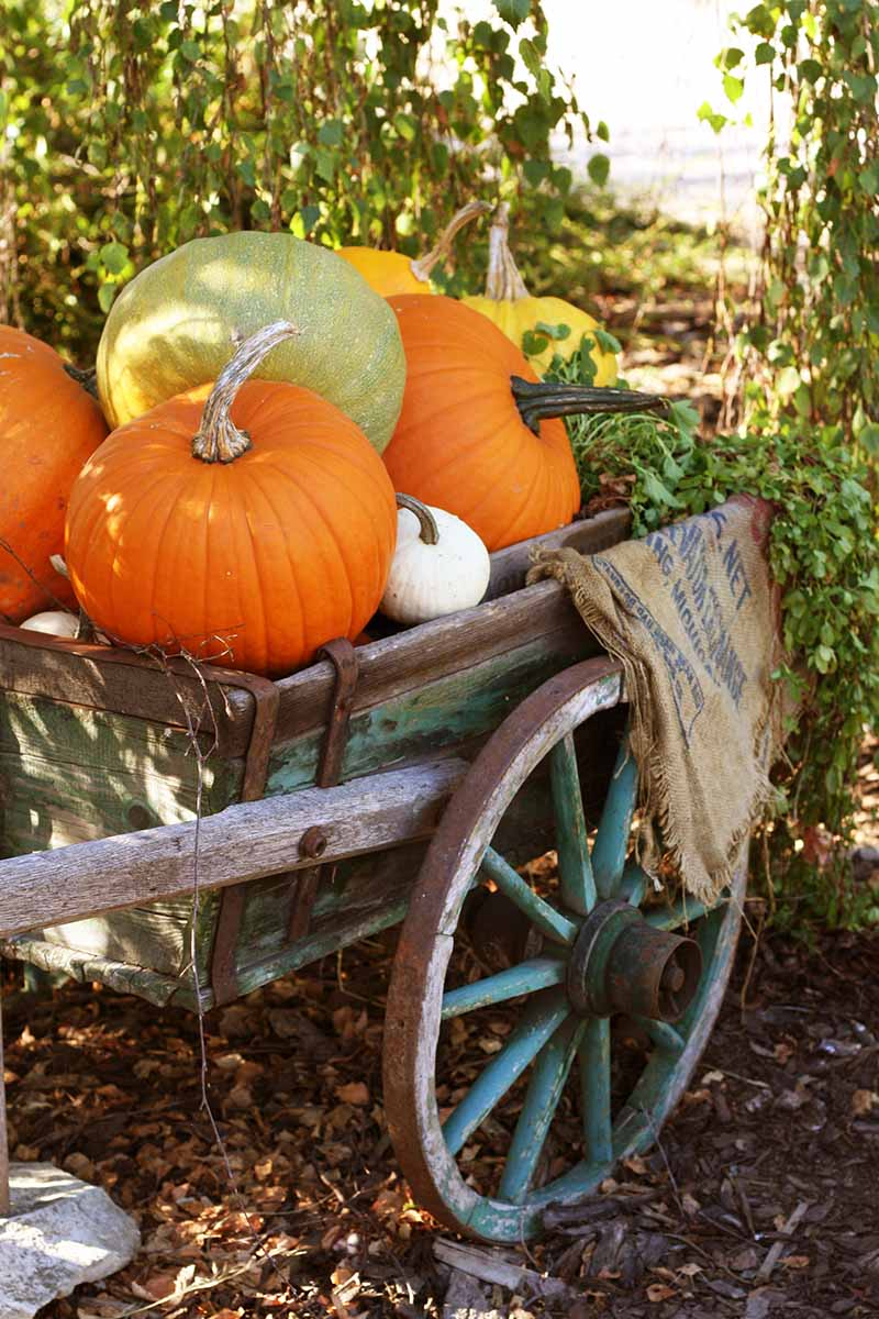 A vertical image of an antique cart full of pumpkins, orange, light green, yellow and white. In the background is soft focus foliage, and the ground is covered in fallen leaves, in light sunshine.