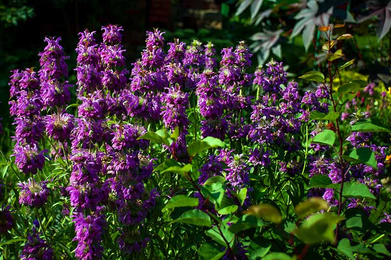 A cluster of purple bee balm flowers growing in the garden surrounded by green foliage in bright sunshine.