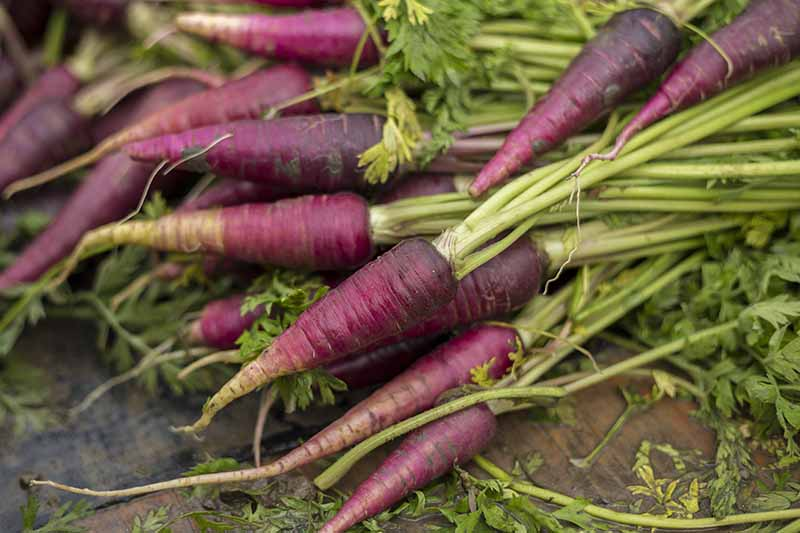 A close up of purple carrots, with their green foliage still attached, freshly harvested and cleaned. The tapering roots go from a deep purple at the top to a light color at the tip. The background is a wooden surface.
