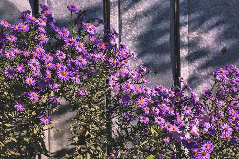A purple aster bush in full bloom, against a metal fence. The purple flowers have bright orange centers, and these contrast with the green leaves and shadows cast on the gray metal behind, in bright sunshine.