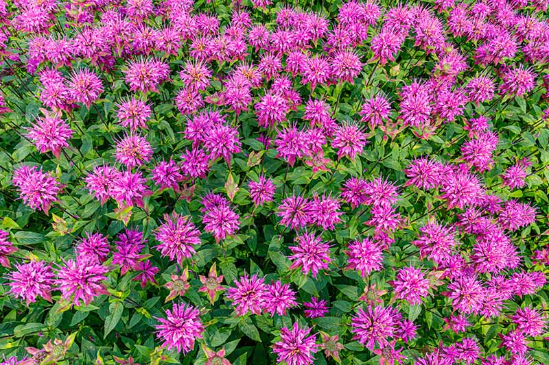 A top down close up of a border planted with bright purple monarda blossoms. The vibrant color contrasting with the dark green foliage in the light sunshine.